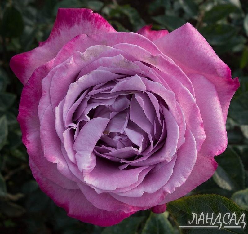 Роза блю ривер энциклопедия роз