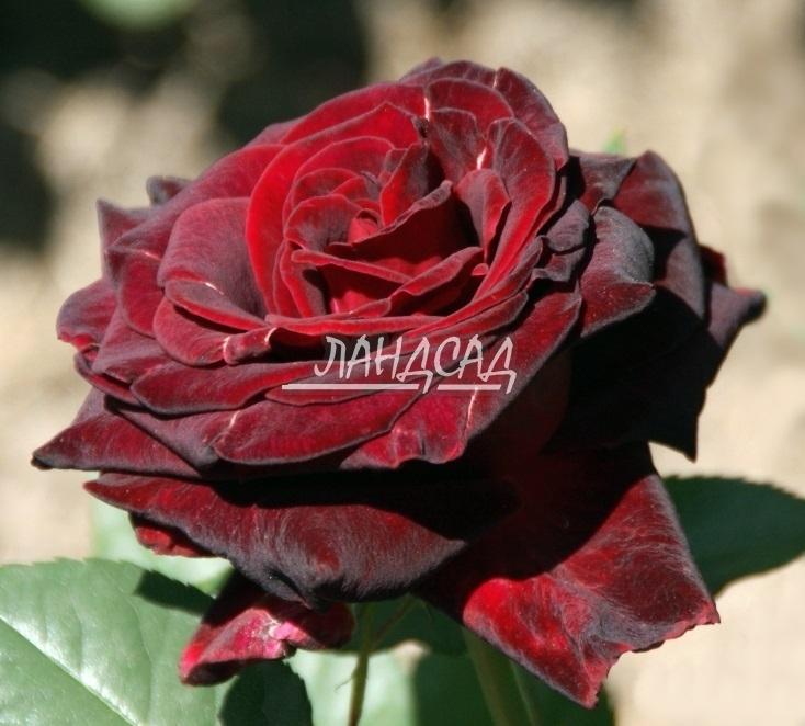 Сорт розы фиджи негро