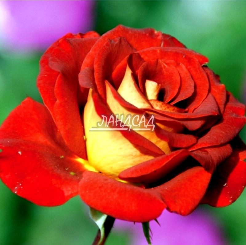 роза леонидас фото описание