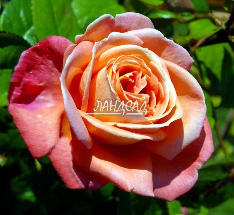 Чайно гибридная роза тройка