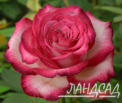 Роза хайлендер фото и описание