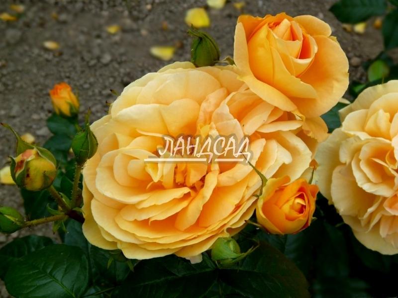 Бурбонские розы купить