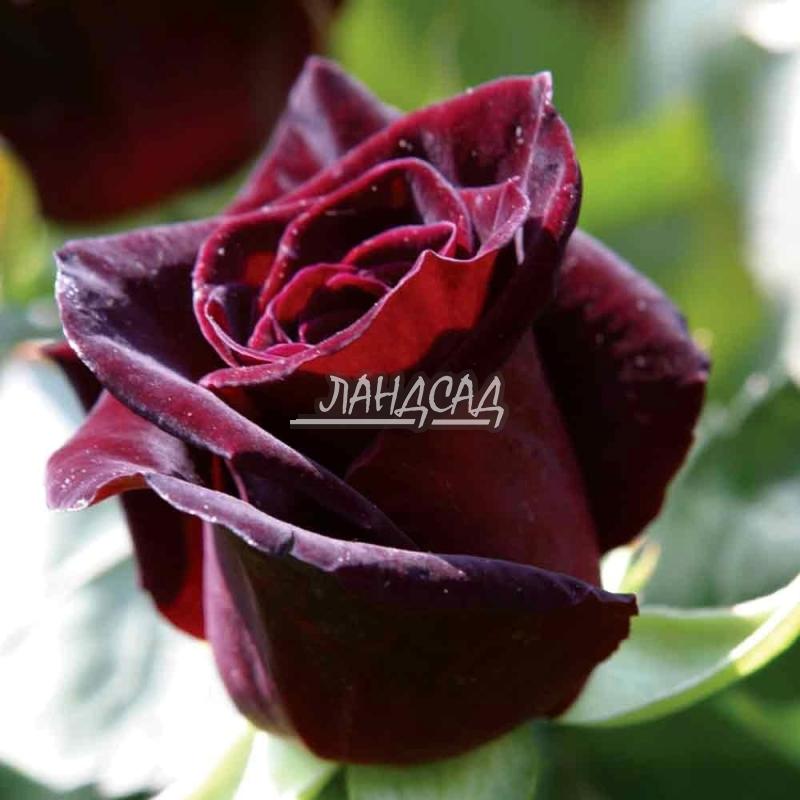 роза с окс фото