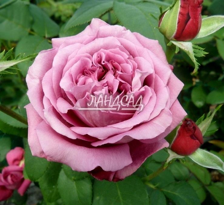 Клод брассёр claude brasseur роза